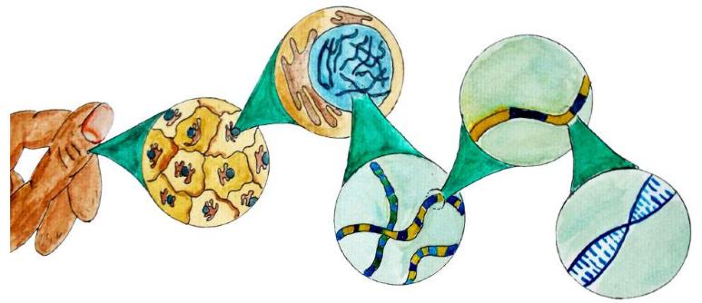 Figura 1: exemplo de figura mostrando níveis de complexidade envolvidos no estudo de genética.